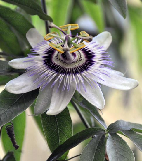 Passon flower